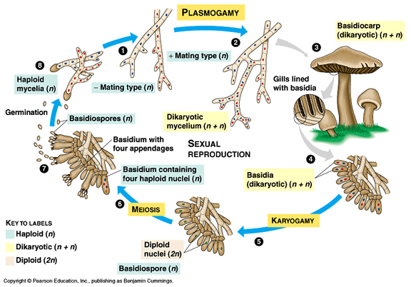 Basidiomycetes asexual reproduction definition